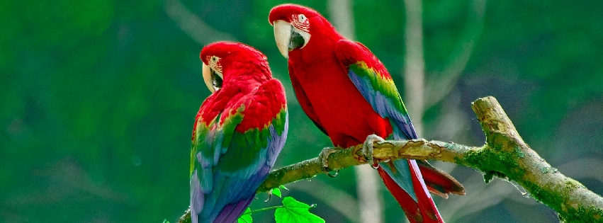 1409033364_couple-of-red-parrots_facebk